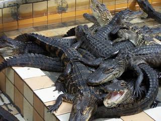 Krokodile auf einem Haufen im Gatorama © Dennis Derby