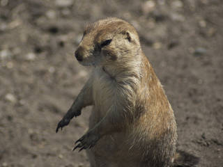 Prairie dog at Red River Zoo © a200/a77Wells
