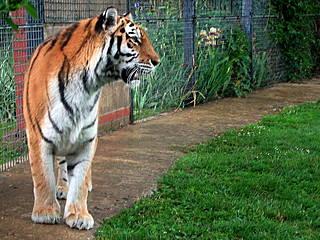 Tiger im Linton Zoo. © ciamabue