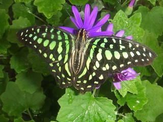 Schmetterling auf dem Passifloraheuve. © Hans B.
