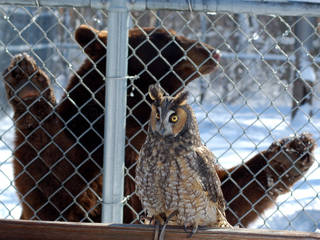 Charlie (Ursus americanus) and the long-eared owl (Asio otus) at Wildlife Science Center © dobak