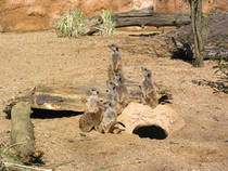 Erdmännchen im Zoo Duisburg © fabian.reinwald