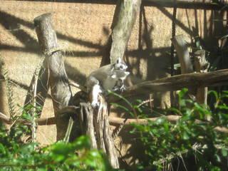 Lemur im Perth Zoo © Nandgate