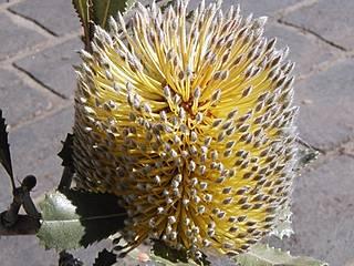Wüsten-Banksie im Australian Botanic Garden Mount Annan. © Casliber